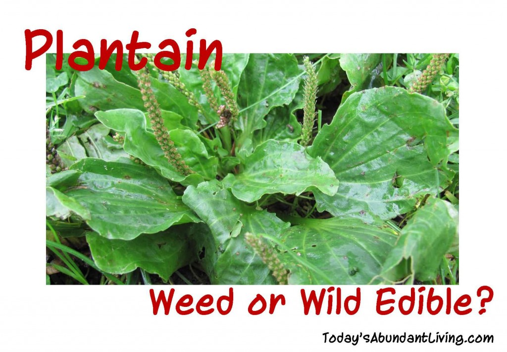 Plantain weed or edible_Page_1